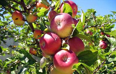 313-apples11.jpg